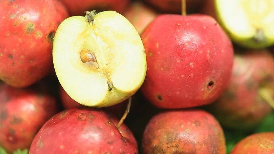 주변 흔한 산사 열매 알고보니 천연 소화제 (건강특급)